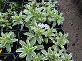 Myosotis palustris 'variegata' (Csíkoslevelű mocsári nefelejcs)