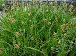 Carex vulpina (Rókasás)