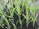 """Typha latifolia """"variegata"""" (Csíkoslevelű gyékény)"""