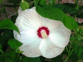 Hibiscus moscheutos 'Alba' (Fehér virágú mocsári hibiszkusz)