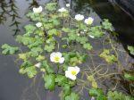 Ranunculus aquatilis (Nagy víziboglárka)