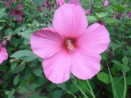 Hibiscus moscheutos 'Rosea' (Rózsaszín virágú mocsári hibiszkusz)  /30-40 cm/