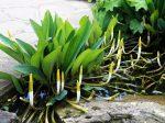 Orontium aquaticum (Vízi kontyvirág)