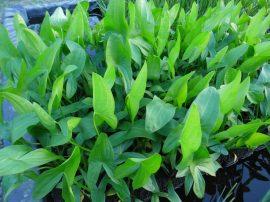 Sagittaria latifolia (Széleslevelű nyílfű)