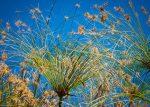 Cyperus papyrus (Papiruszsás)- NEM TÉLÁLLÓ