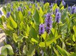 Pontederia cordata (Szívlevelű sellővirág)