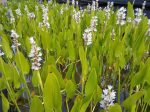 Pontederia cordata 'White pike' (Szívlevelű sellővirág, fehér)