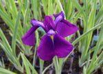 Iris ensata (Vízparti nőszirom)