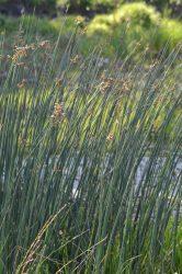 Scirpus lacustris (Tavi káka)
