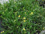 Ranunculus flammula (Békaboglárka)