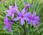 Tulbaghia violacea (Fokföldi csillagvirág, Vízihagyma)-NEM TÉLÁLLÓ-