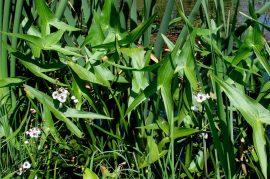 Sagittaria sagittifolia (Nyilaslevelű nyílfű)-2 db GUMÓ