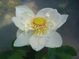 Nelumbo 'Alba Grandiflora' (Fehér virágú indiai lótusz)-60 literes edényben