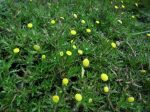 Cotula coronopifolia (Lúgvirág)-NEM ÉVELŐ