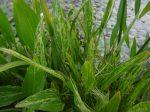 Sagittaria graminea 'Crushed ice' (Tarka fűlevelű nyílfű)-FAGYÉRZÉKENY
