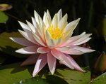Nymphaea 'Sunny pink' (Tavirózsa)