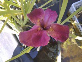 Iris louisiana 'Red' (Piros? virágú nőszirom)-LEÍRÁSBAN A RÉSZLETEK