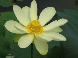 Nelumbo lutea (Amerikai lótusz) -10 literes edényben