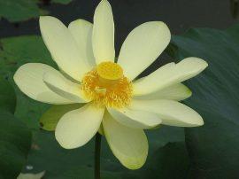 Nelumbo lutea (Amerikai lótusz) -40 literes edényben