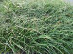Carex acutiformis (Mocsári sás)