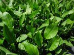 Alisma plantago-aquatica (Vízi hídőr)