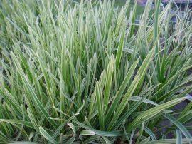 Glyceria maxima variegata (Tarkalevelű vízi harmatkása)