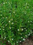 Gratiola officinalis (Csikorgófű)