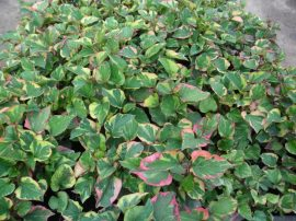 Houttuynia cordata 'Chamaleon' (Kaméleonvirág)