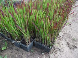 Imperata cylindrica 'Red Baron' (Vörös alangfű)