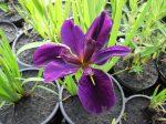 Iris louisiana (Nőszirom)
