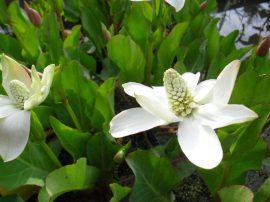 Anemopsis californica (Kaliforniai hamisszellőrózsa)