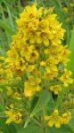 Lysimachia vulgaris (Közönséges lizinka)
