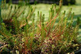 Myriophyllum propium (Füzéres sülőhínár)