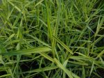 Phragmites karka 'variegata' (Csíkoslevelű nád)