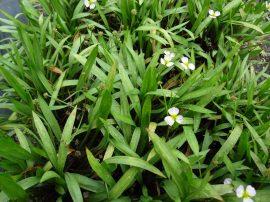 Baldellia ranunculoides (Bogláros kishídőr)- Júniustól