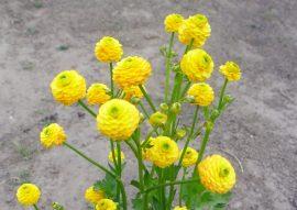 Ranunculus acris 'Multiplex'  (Teltvirágú réti boglárka)