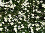 Ranunculus trichopyllus (Hínáros víziboglárka)