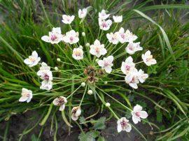 Butomus umbellatus 'Schneeweisschen' (Fehér virágkáka) VISSZAVÁGOTT
