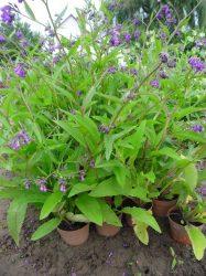 Symphytum officinalis (Fekete nadálytő)