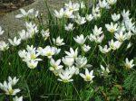 Zephyranthes candida (Hófehér zefírvirág)